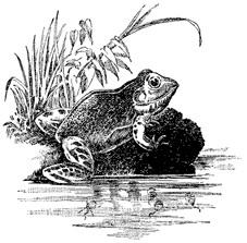 Pond Frog NEU