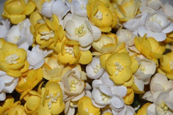 10 Cherry Blossoms Yellow Mix