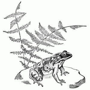 Frog on a Pond