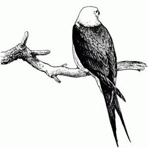 Hawk Back