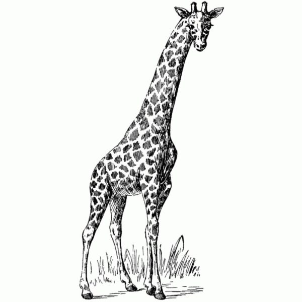 Single Giraffe