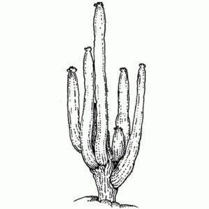 Hill Cactus