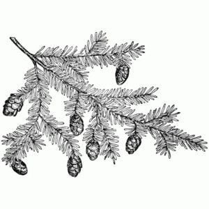Pine Branch with Cones