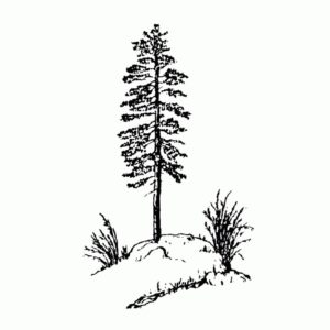 Pine on Hill
