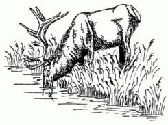 Hirsch am Wasser NEU