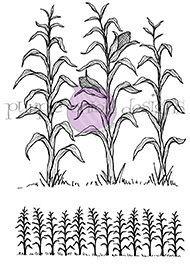 2 Cornfields